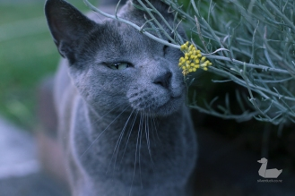 Russian blue cat sniffing flowers